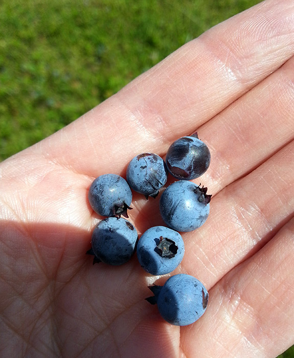 Pick Your Own Wild Blueberries