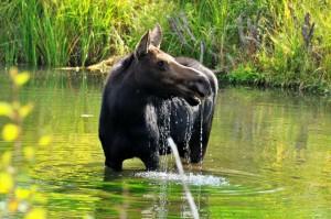 tom deangelo moose
